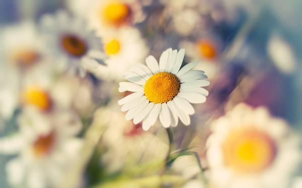 wallpaper-daisy-photo-01.jpg